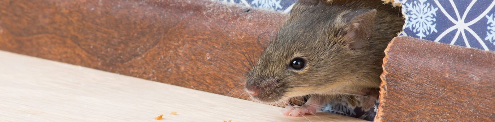 Norway & Roof Rats - Animal Pest Management Services, Inc